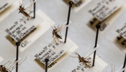 The Smithsonian's National Mosquito Collection has about 1.9 million specimens from around the world that researchers use to study diseases like malaria. (Paul Fetters for the Smithsonian)