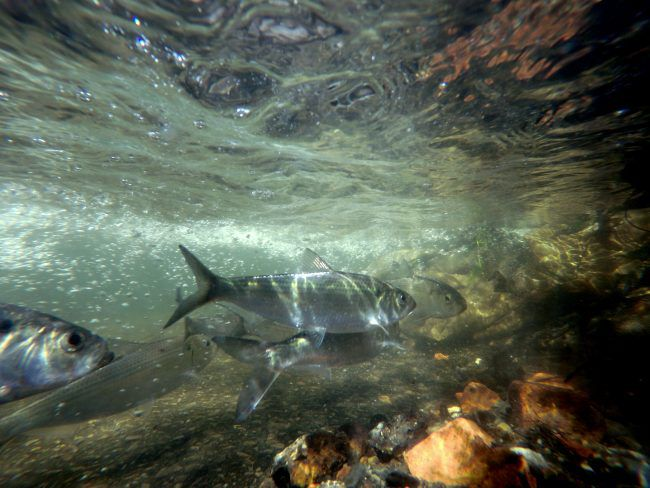 Wynants Kill Alewives