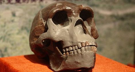 A replica of a Peking Man, or Homo erectus, skull on display in China.