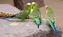 When Choosing a Mate, These Female Birds Prefer Brains Over Beauty or Brawn