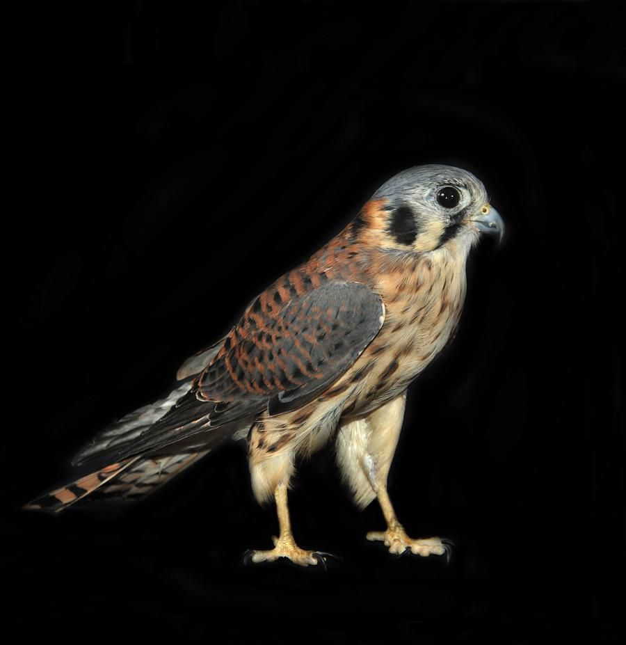Raptors Portraits Of Birds Of Prey Articles Air Space Magazine