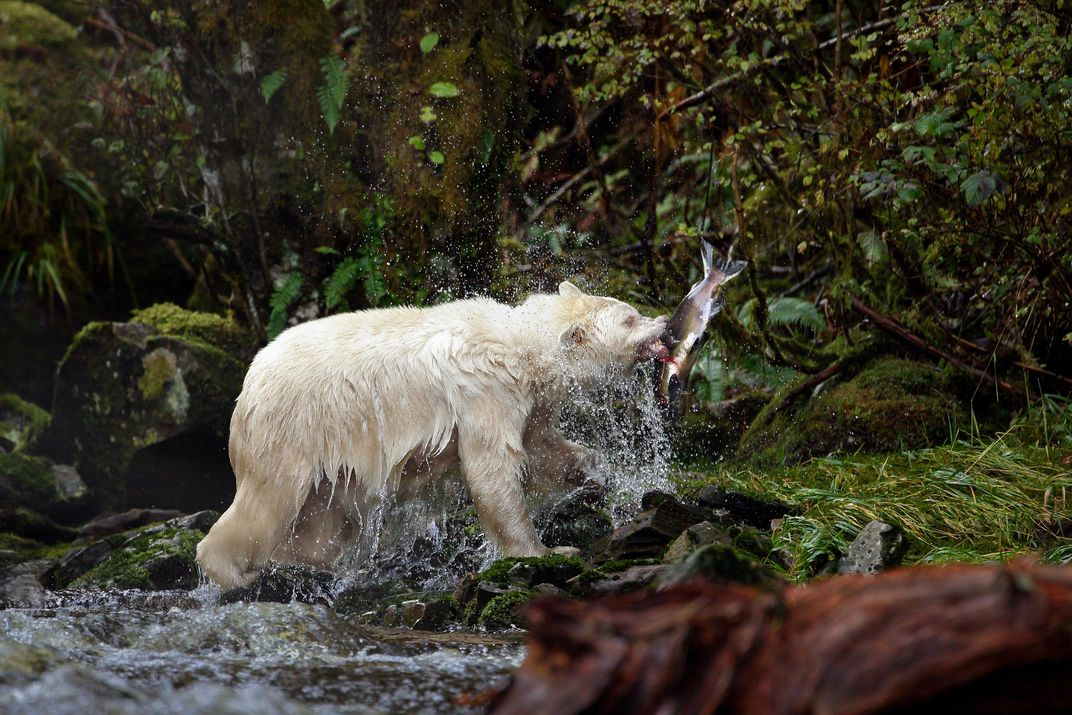 A Spirit Bear And His Fresh Catch Melissa Groo