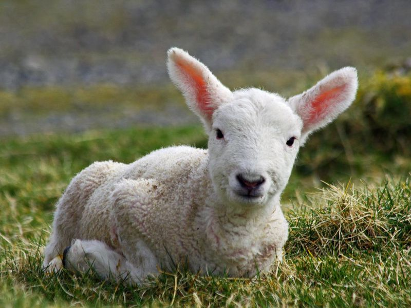 Mary Had a Little Lamb  Is Based on a True Story  3b24e4140