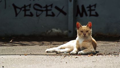 Feral Cats Now Cover 99.8 Percent of Australia
