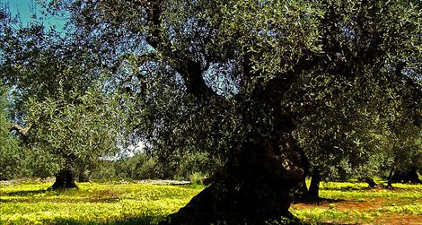 Italy: Where the Olive Oil is the Most Flavorful | Travel | Smithsonian