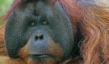 Borneo's Orangutan Population Plummeted by Half in 16 Years