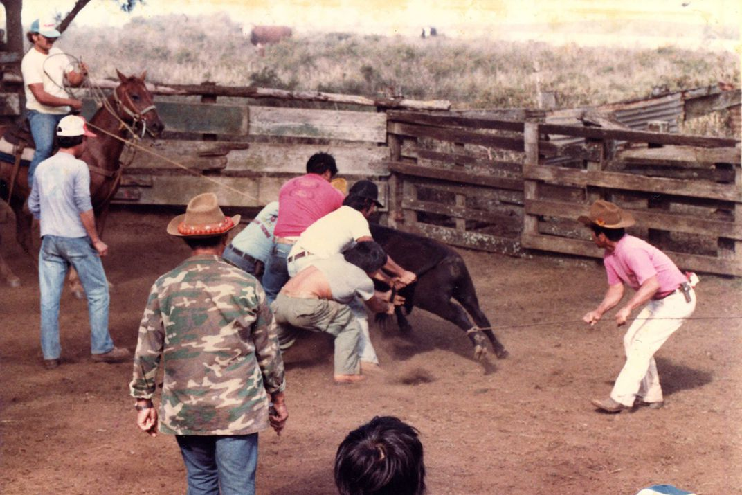 Several people, both on foot and on horseback, work together to restrain a bull.