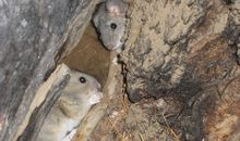 From Ancient Seeds to Scraps of Clothing, Rats' Nests Are Full of Treasures