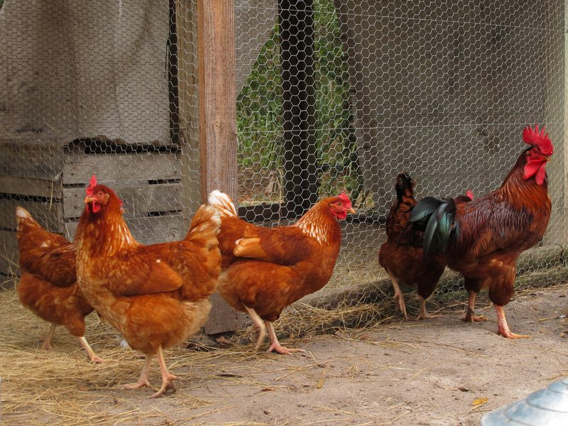 14 Fun Facts About Chickens | Science | Smithsonian