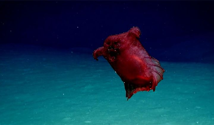 A Rare Sighting of the 'Headless Chicken Monster'