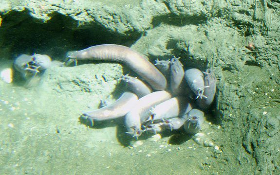 A group of hagfish hanging out on the floor of the Pacific.