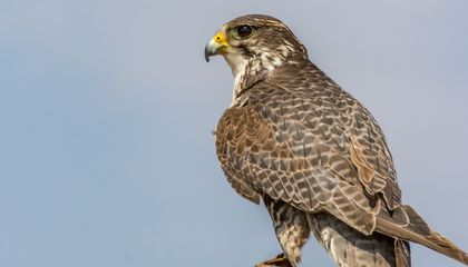 Why Winemakers are Turning to Falconry to Tackle Pests