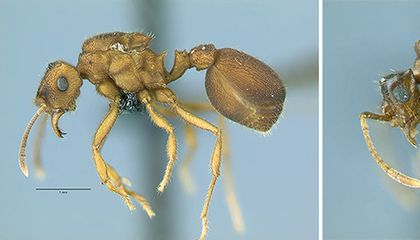 This Ant Species May Support a Controversial Theory on Evolution
