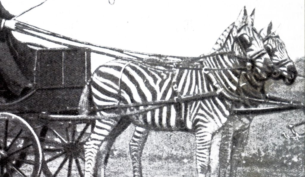 While few zebras were effectively trained for riding, many did find their way into transport infrastructure as members of driving teams in the late 19th and early 20th centuries.