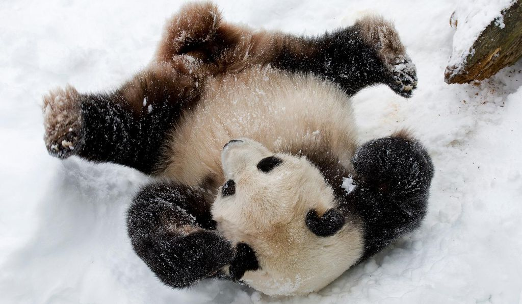 A young Tian Tian enjoying a roll through the snow at the National Zoo in 2009.