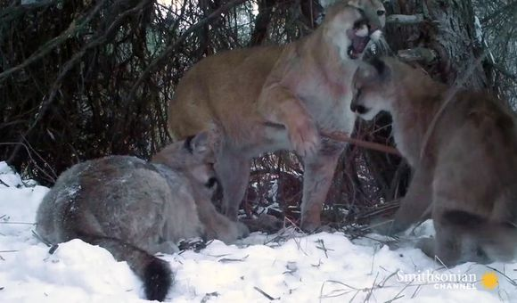 Preview thumbnail for video'Cameras Catch Adorable Glimpse of Mountain Lion Family