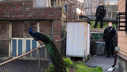 Police Lure Escaped Peacock Into Custody With Mating Call Played On Cell Phone