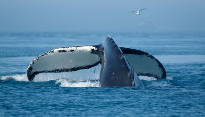 Found: A Hub Where Humpback Whales Share Their Songs