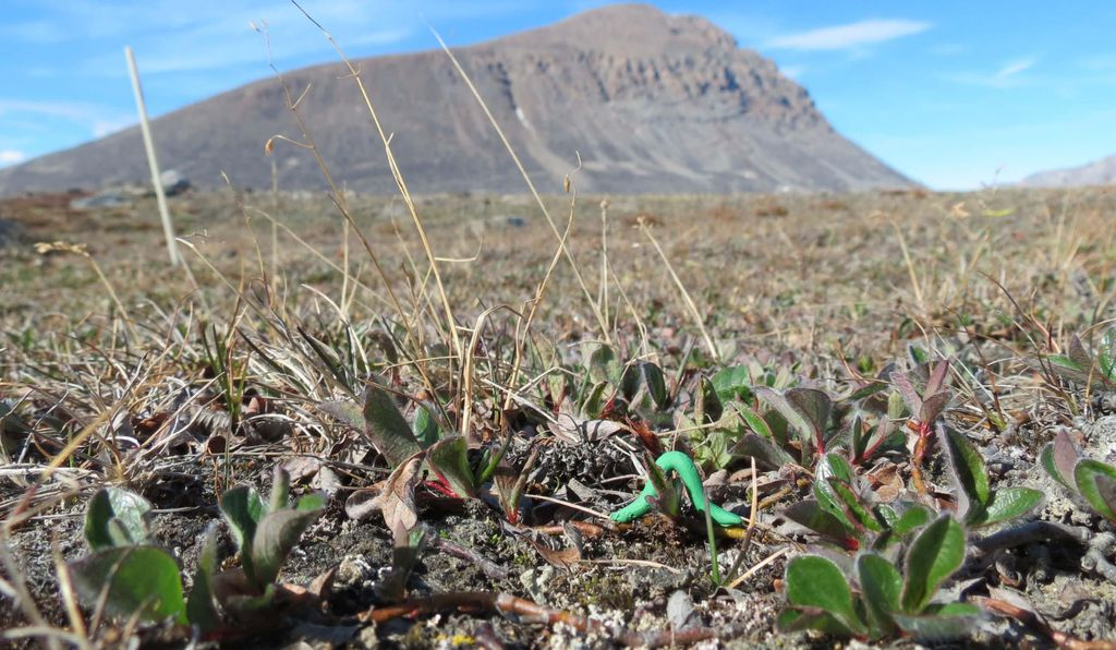 A caterpillar glued to a plant in northern Greenland waits to be chewed.