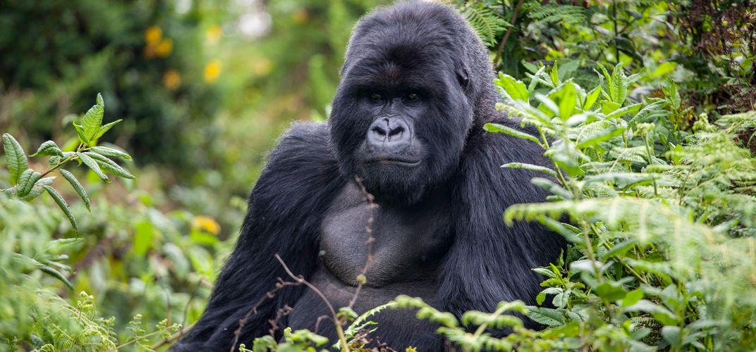 Large gorilla, Volcanoes National Park