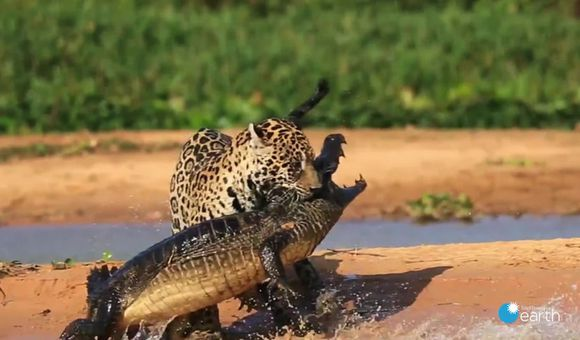 Preview thumbnail for video'Jaguar vs. Caiman