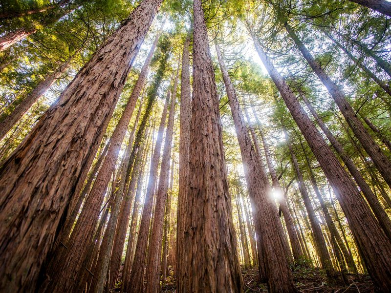 The Tallest Muir Woods Redwood Is Way Younger Than Scientists