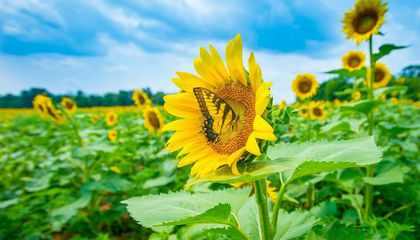 butterfly perched on a sunflower in a field of sunflowers