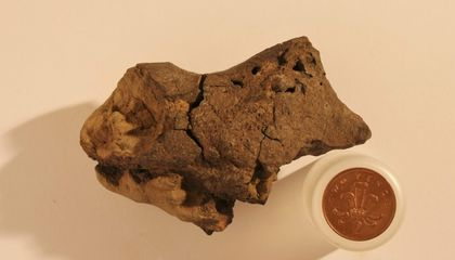 This Pebble Turns Out to Be a Fossilized Dinosaur Brain