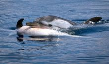Study Suggests Dolphins and Some Whales Grieve Their Dead