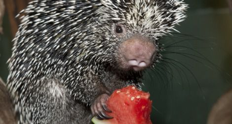 Come see animals like this porcupine at mealtime.