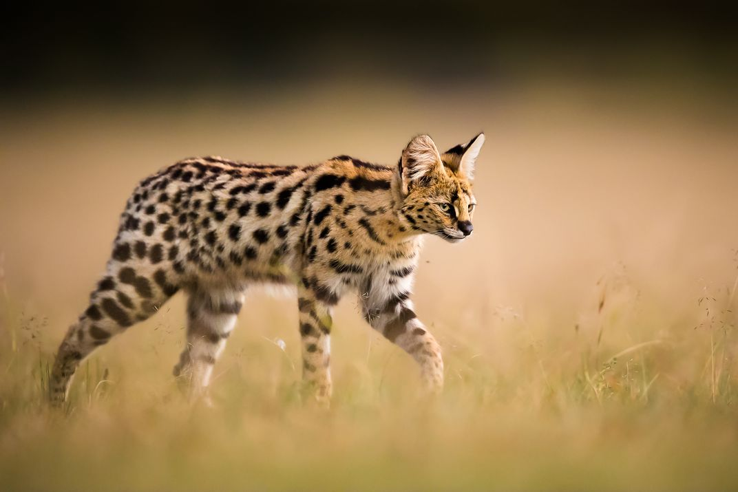 Image result for serval photography