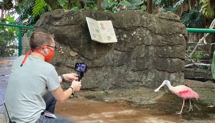 The National Zoo education team created an interactive, virtual field trip experience for 600 D.C. Public Schools kindergarteners to learn more about rainforest habitats, connecting to a children's book they had read together. Here, the facilitator introduces students to a rainforest resident, the roseate spoonbill. (Smithsonian's National Zoo)
