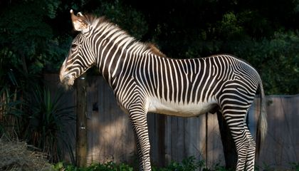12-year-old Grevy's zebra Moyo at the Smithsonian's National Zoo in Washington, D.C.