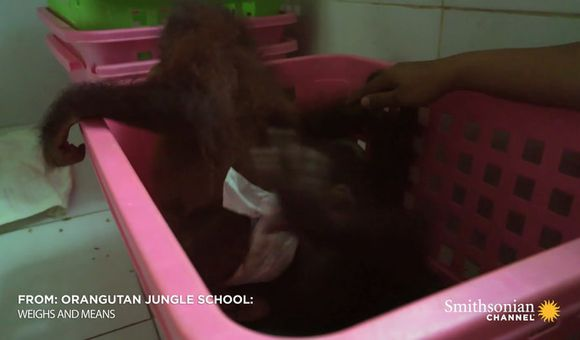 Preview thumbnail for video'Infant Orangutans Get Ready for Their First Day of School