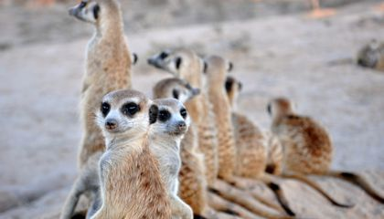 Welcome to the Meerkat's World of Competitive Eating