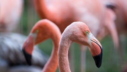 10 Things You Didn't Know About Flamingos