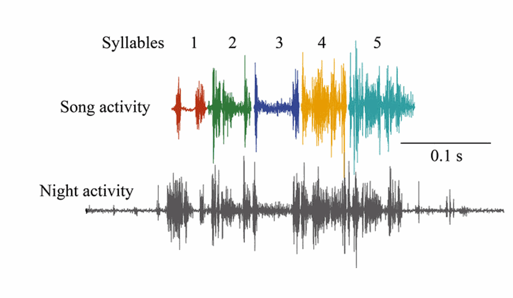 This chart shows the activation of syringeal muscles in a finch during singing (above) and at night (gray, below).