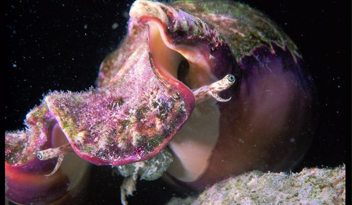The Bahamas May Lose Its Conches