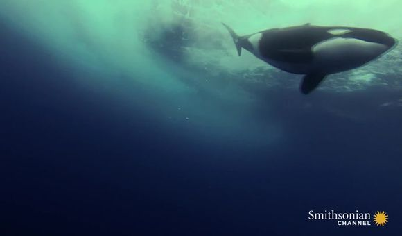 Preview thumbnail for video'Incredible Footage of Killer Whales Playing Underwater