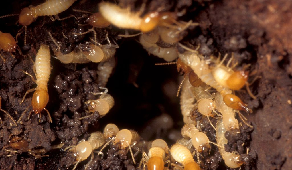 Termites rush to a damaged area of the nest to repair the hole.