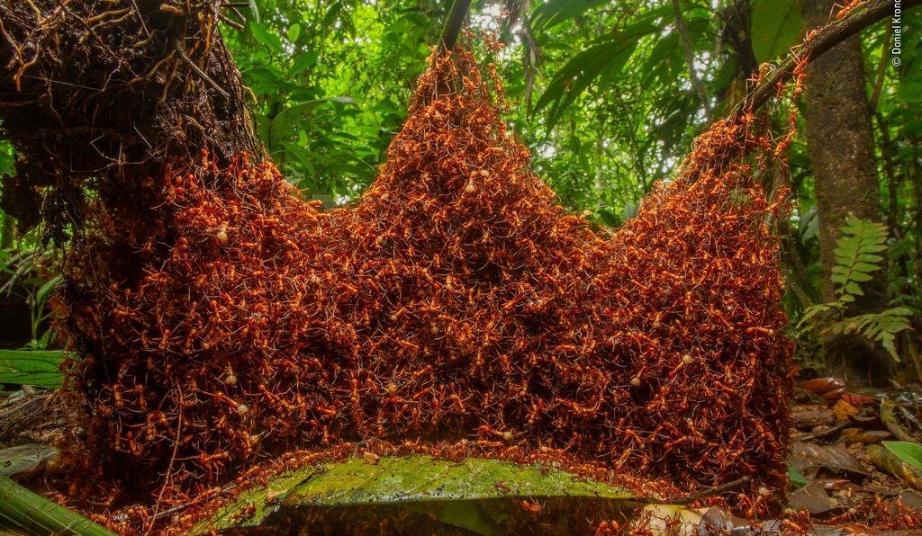 A colony of nomadic army ants constructs a brilliant new home for its queen. American photographer Daniel Kronauer watched as the insects used their own bodies to string links of ant chains, creating the scaffolding of their temporary home. Called a bivouac, the structure—almost resembling a crown—is certainly fit for a queen.