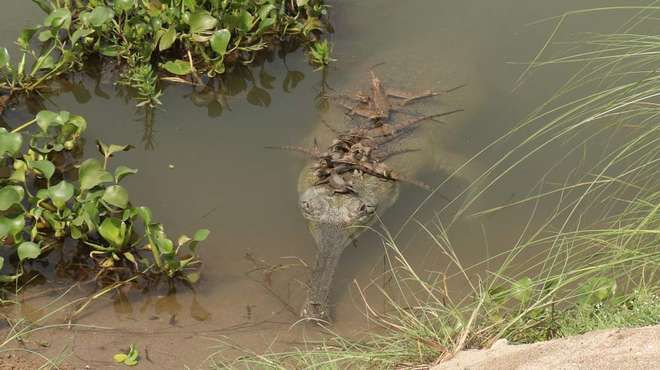 Researchers Discover Secret Breeding Ground of World's Most Endangered Crocodile