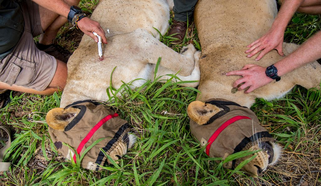 Two sedated lions are monitored by staff before being transferred to Liwonde.