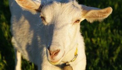 Google Rents Goats to Mow the Lawn