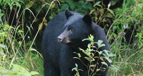 Most fatal black bear attacks are carried out by hungry males