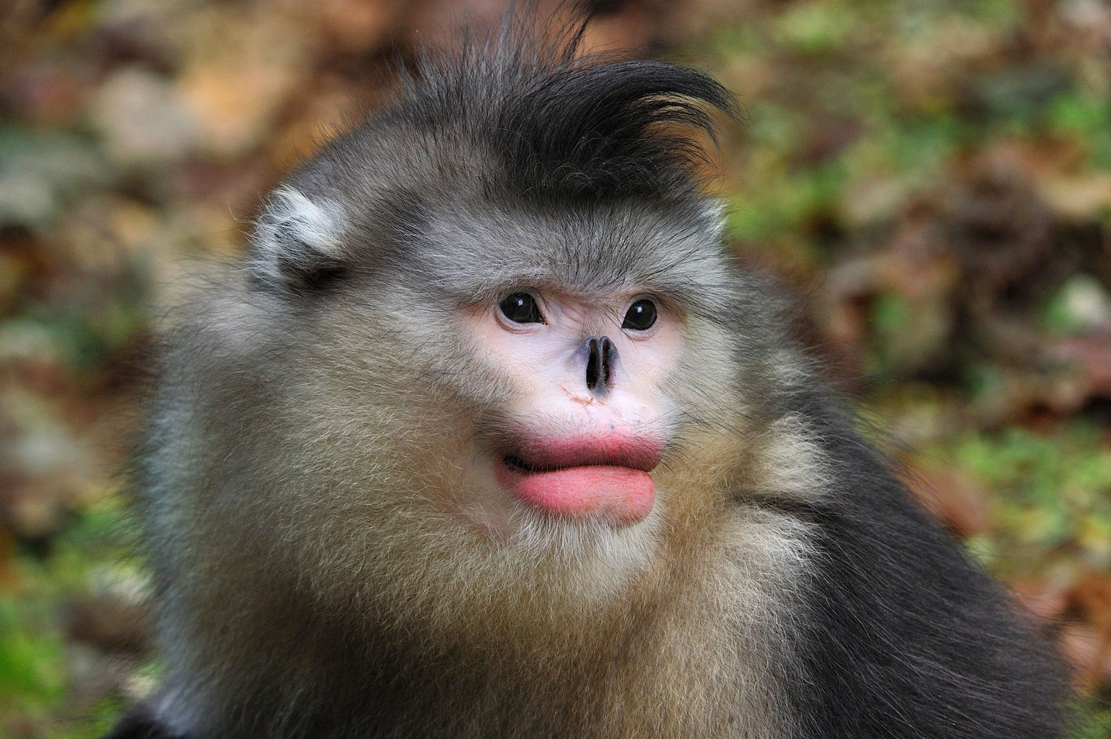 Monkeys Like Full Red Lips Too Smart News Smithsonian Magazine Download monkey images and photos. monkeys like full red lips too smart