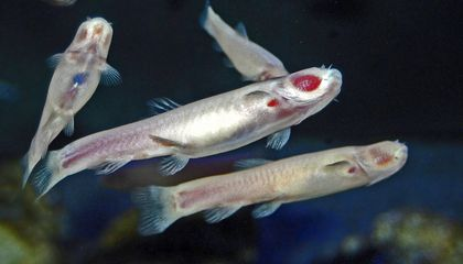 Blind Cavefish Shed Light on the Dark Days of Mammalian Evolution