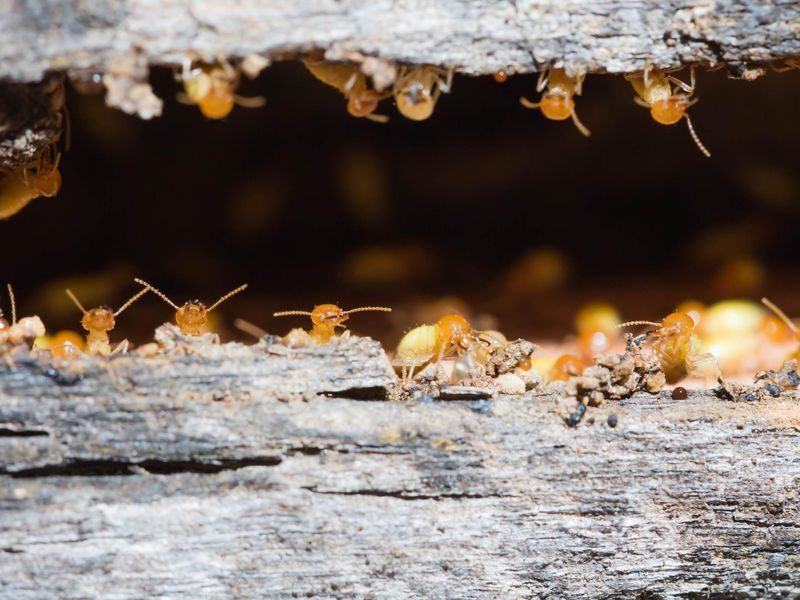 All-Female Termite Colonies Reproduce Without Male Input Istock-529352287