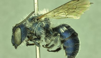 Blue Bee Feared to Be Extinct Is Found in Florida