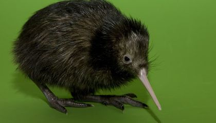 Have You Ever Met a Kiwi Who Was Just Named Hiri? (Down By The Zoo!)